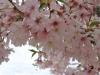 桜と松本城2